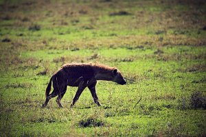Hyena walking on savanna