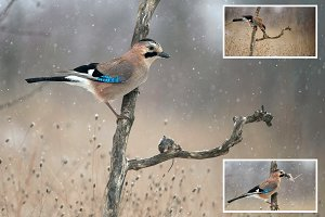 Eurasian jay in the snow.