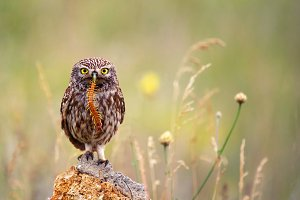 Little owl with a prey