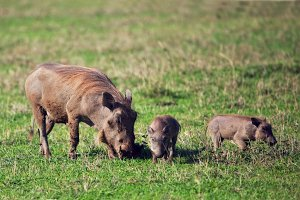 The warthog family on savanna