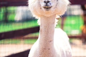 Portrait of a sweet white llama - al