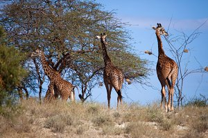 Three giraffes on african savanna