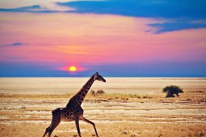 Giraffe running on savanna at sunset