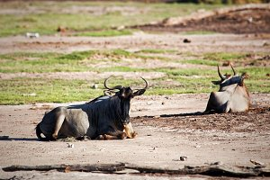 Wildebeests lying on savanna