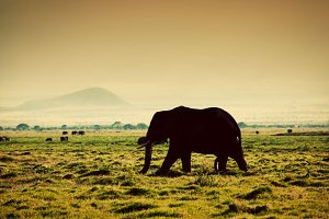 Elephant on African savanna