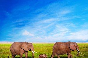 Elephants family on African savanna