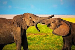 Elephants playing with their trunks