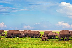 Elephants herd on African savanna