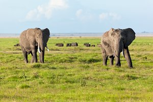 Elephants on African savanna