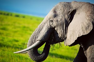 Elephant portrait on African savanna