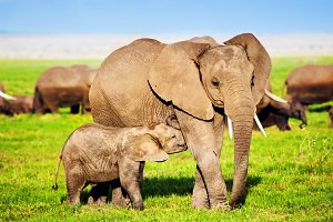 Small elephant feeding by his mother