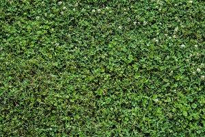 Grass clover background