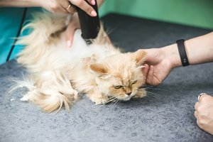 Haircut of shaggy ginger cat. Select