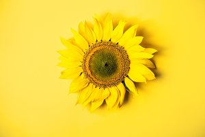 Beautiful sunflower on yellow backgr