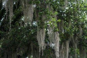 Spanish moss on live oak tree
