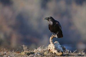Raven sitting on a skull