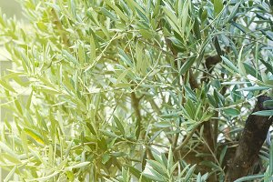 Olives on olive tree branch with
