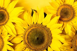 Beautiful sunflowers on yellow backg