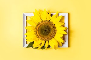Beautiful sunflower in frame on yell