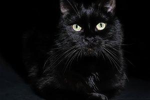 Portrait of a domestic black cat