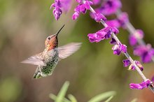 A Hummingbird Looking for Lunch