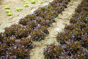 Red Oak organic farm rustic garden