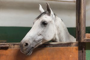 White horse portrait in the stable