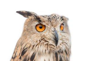 Royal owl on white isolated backgrou