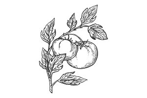 Tomato engraving vector illustration