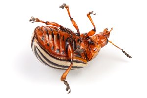 Colorado Potato Beetle lying on the