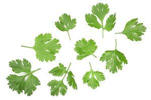 cilantro or coriander leaves