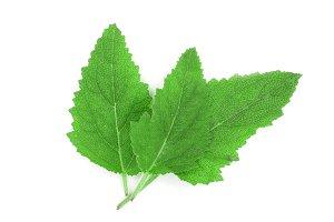 Sage leaves or Salvia officinalis