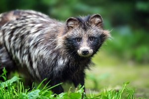 Young wild raccoon
