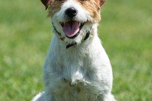 Purebred Jack Russel Terrier dog