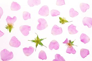 petals of rosehip flower isolated on