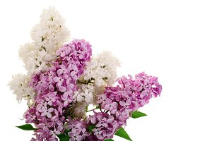 lilac flowers, branches and leaves