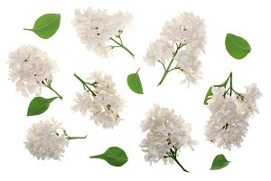 light lilac flowers, branches and