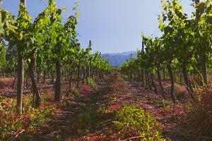 Panoramic view of chilean vineyard