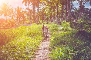 Beagle dog in nature among rice
