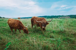 Scottish highland cows in field