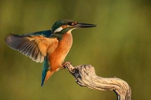 Kingfisher (Alcedo atthis) in flight