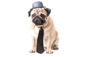 Pug in a hat and tie isolated