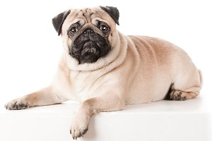 Beautiful pug lying on sofa