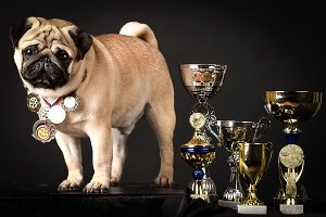 Pug, perfect dog with prize-winning
