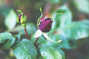 Crimson rose bud