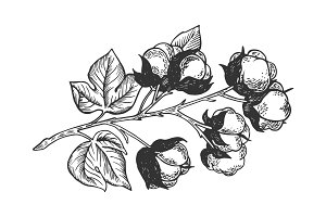 Cotton branch engraving vector