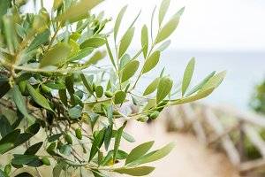 Olives on olive tree
