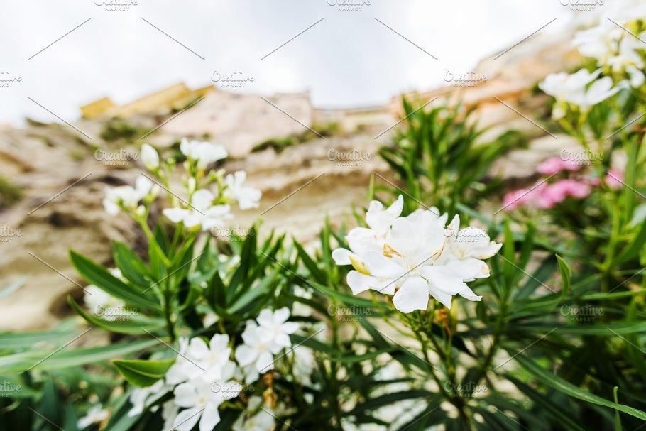 White oleander or nerium flower nature photos creative market white oleander or nerium flower nature mightylinksfo
