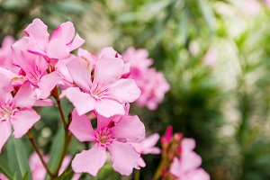 Pink oleander or Nerium flower
