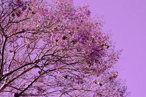 Purple bloom  tree. Minimal plant ar